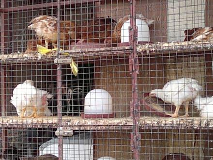 Lebende Hühner - Bazar von Assuan