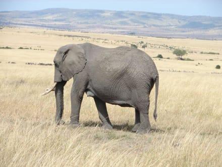 Elefant - Masai Mara Safari