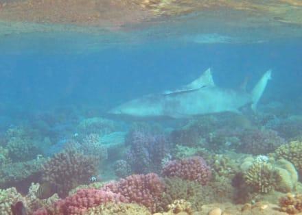 Zitronenhai mit Schiffshalter - Hausriff Hotel Lahami Bay Berenice