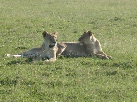 Masai Mara - Masai Mara Safari