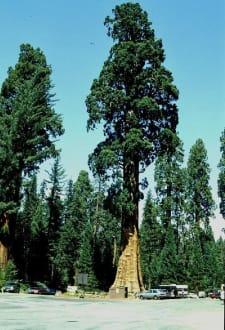 Riesenfichten - Sequoia & Kings Canyon National Park