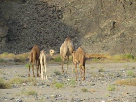 Kamele - Geführte Touren Morgenland Reisen