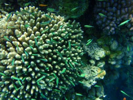 Riffe/Korallen - Sharm el Loli