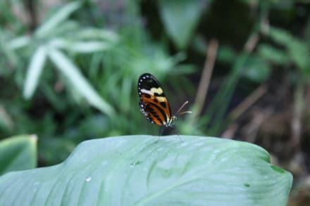 Kleiner, graziler Falter - Schmetterlings- und Reptilienhaus Jonsdorf