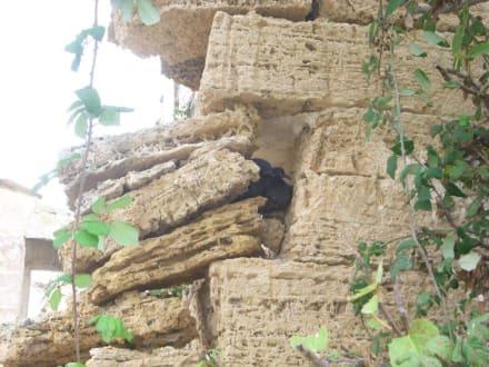 Taubennest in einer Ruine - Naturpark S'Albufera