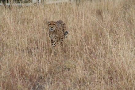 Gepard der Einzelgänger - Masai Mara Safari
