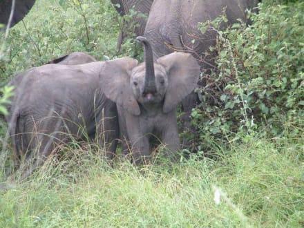 Baby-Elefant - Krüger Nationalpark