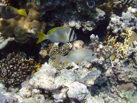 Zweibandbrasse und Einfleckschnapper - Schnorcheln Makadi Bay