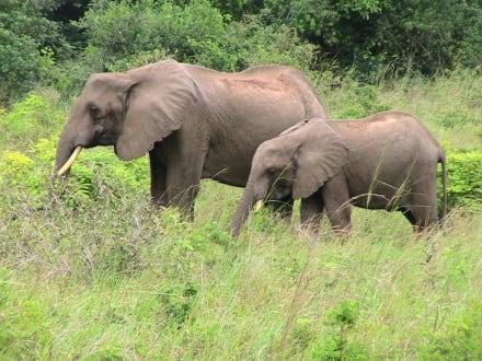 Elefanten in der Mara - Masai Mara Safari
