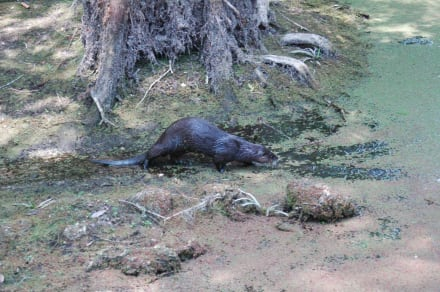 Otter in der Loop Road - Loop Road