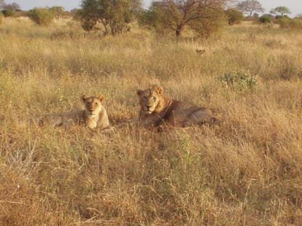 Löwen im Tsavo-Ost - Tsavo Ost Nationalpark