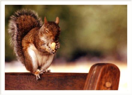 Eichhörnchen in London - Hyde Park