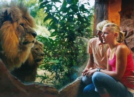 Die Löwen - ZOOM Erlebniswelt Gelsenkirchen (Zoo)
