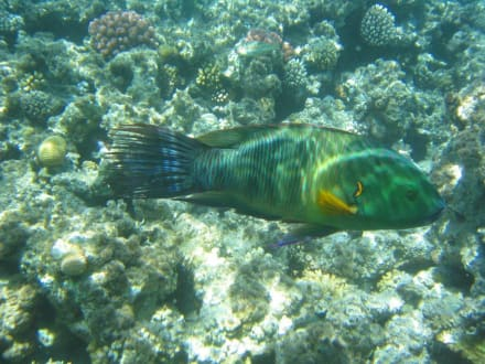 schnorcheln - Tauchen Makadi Bay