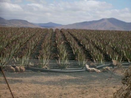 Aloevera-Farm - private Touren auf Fuerteventura