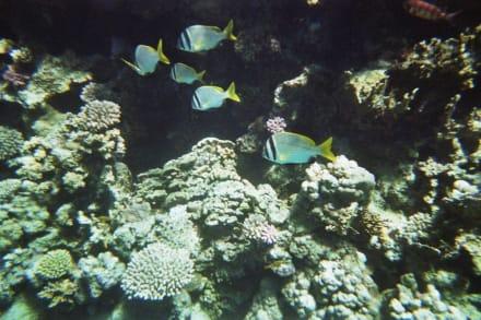 Hausriff des Hotel Reef Oasis Blue Bay - Tauchen Sharm el Sheikh