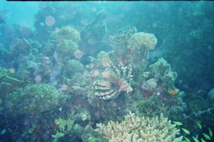 Feuerfisch - Tauchen Marsa Alam