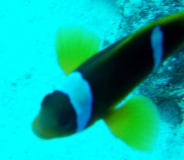 Rotmeer-Anemonenfisch - Jasmin Diving Center