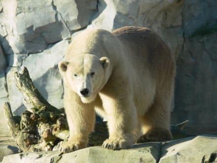 Eisbär - Zoo am Meer Bremerhaven