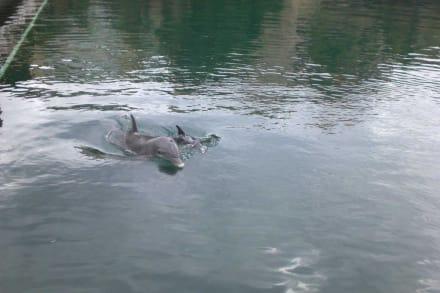 Babydelphin - Yachthafen Puerto Aventuras