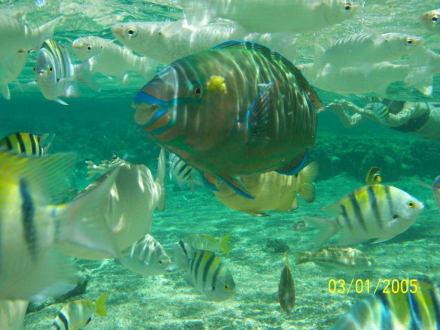 Papageienfische am Strand - Schnorcheln Sharm el Sheikh