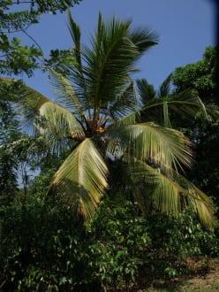 Kokospalme - Koggala See