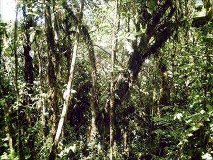 Nationalpark Cerro Cl Copey  Bewaldung und Bewuchs - Nationalpark Cerro El Copey
