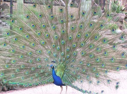 Pfau im Palmitos Park - Palmitos Park
