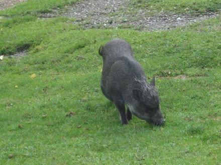 Wildschwein - Tierwelt Herberstein