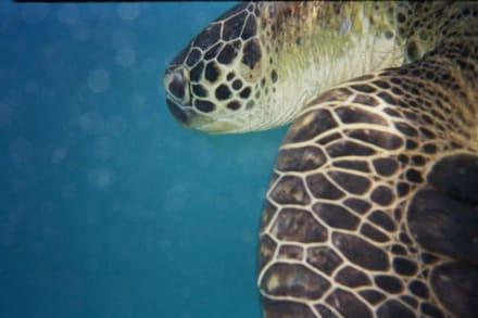 Meeresschildkröte 2 - Schnorcheln Marsa Alam