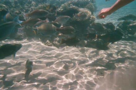 Ein ganzer Haufen Fische - Tauchen Makadi Bay