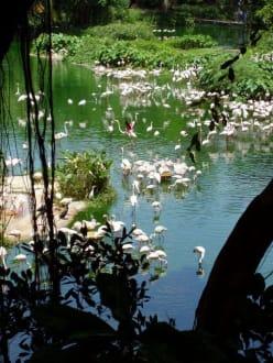 Flamingos - Jurong Bird Park