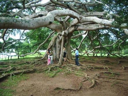 Unter dem riesigen Benjamin-Baum Botanischer Garten - Botanischer Garten Peradeniya