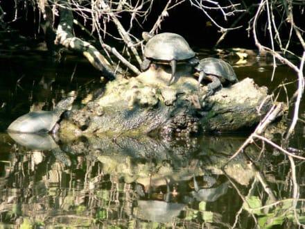 Schildkröten im Schildkröten Ropotamo-Fluß - Ausflug - Das andere Bulgarien
