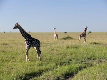 Giraffenwache - Masai Mara Safari