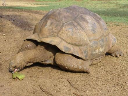 Riesenschildkröte - La Vanille Crocodile Park