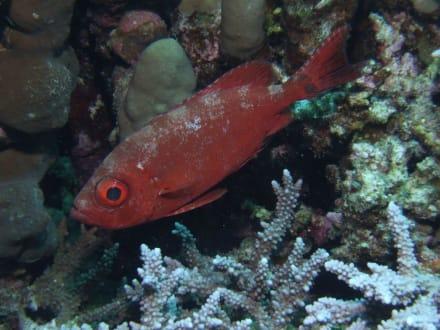 Husarenfisch am Hausriff - Schnorcheln Marsa Alam