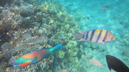 Papageienfisch - Schnorcheln Taba Heights
