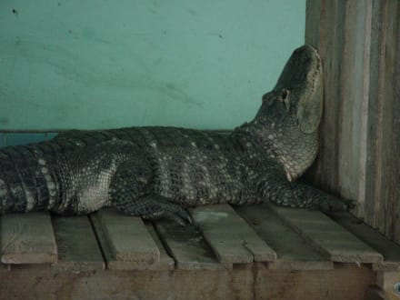 Alligator in Friedberg - Alligator Action Farm