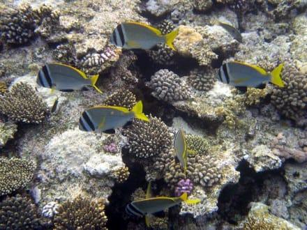 Three Corners Palmyra - Fische am Hausriff - Schnorcheln Nabq Bay