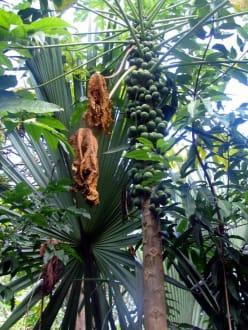 Coba- in Dschungel - Ruinenstätte Cobá