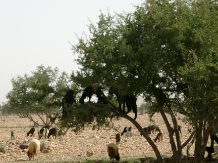 Ziegen auf den Bäumen - Antiatlas-Gebirge