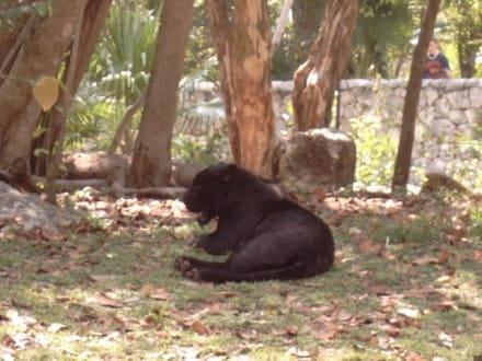 schwarzer Jaguar - Freizeitpark Xcaret