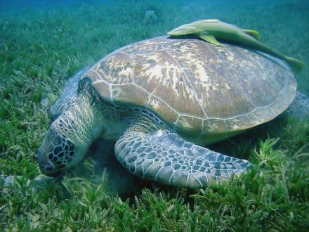 Schildkröte2 - Tauchkreuzfahrt