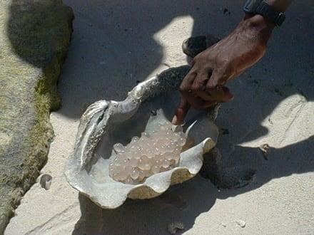 Gelege einer Tintenfischart - Insel Mesali
