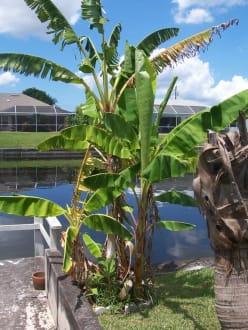 bananen im garten bild villa ibis in cape coral florida usa. Black Bedroom Furniture Sets. Home Design Ideas