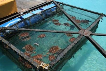 wasserschildkr ten bild veligandu island resort spa in. Black Bedroom Furniture Sets. Home Design Ideas