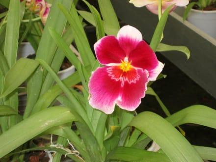 Orchideenblüte - Orchideenhof in Luttelgeest