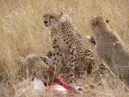 Geparden - Masai Mara Safari