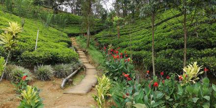 Teeplantagen - Teeplantagen